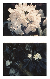 Rhododendron Diptych
